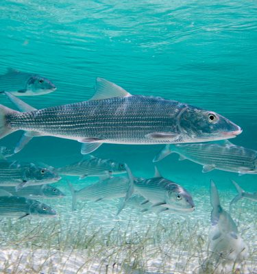 Kevin-Dodge-Photography-Bonefish-Beauty