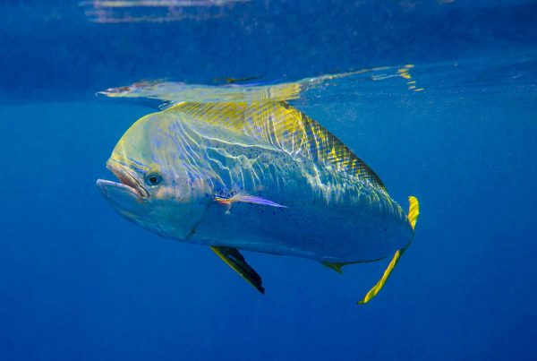 Kevin-Dodge-Photography-Mahi-Close-Up